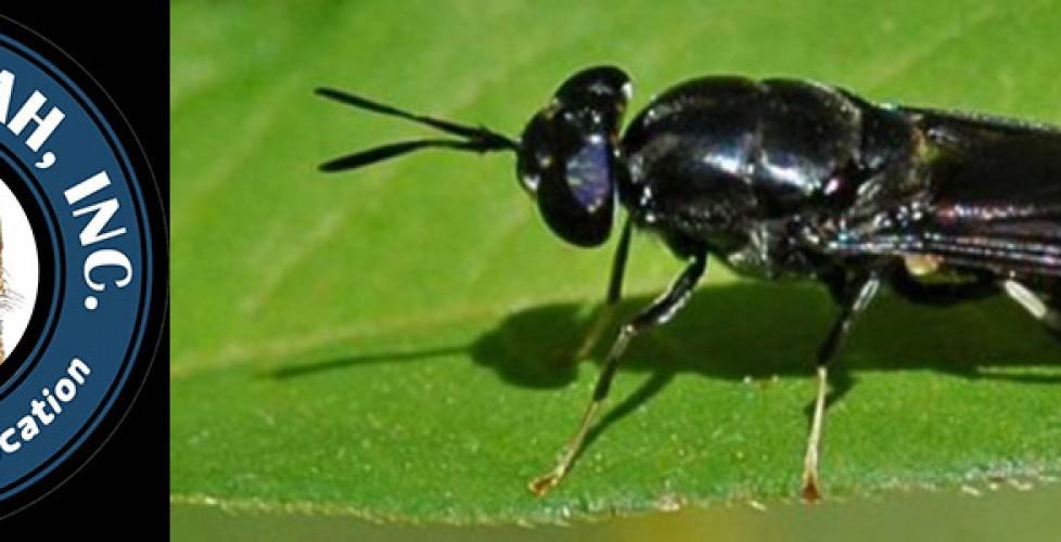 Black Solder Flies